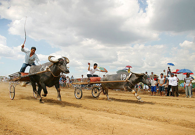 water buffalo race
