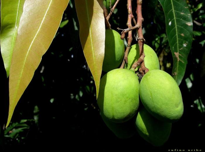 temporada de mangos