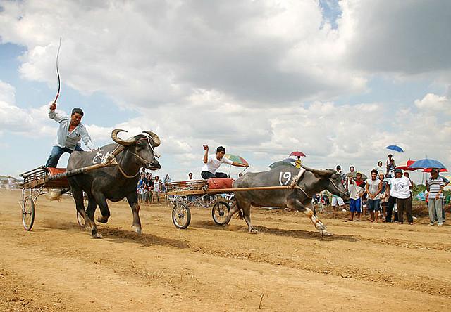 water buffalo race
